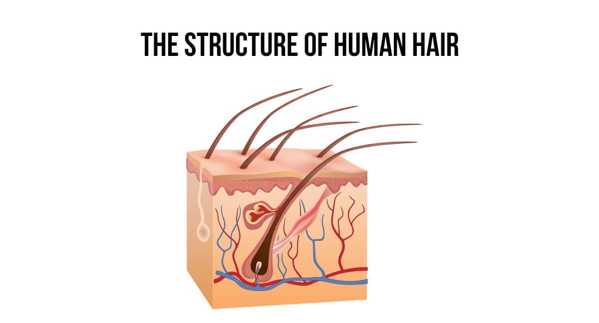 Illustration of the structure of human hair